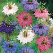 Love-in-a-Mist Seeds - Persian Jewels Mix