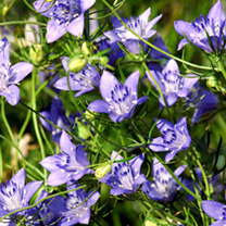 Click to view product details and reviews for Love In A Mist Seeds Blue Stars.
