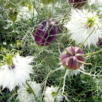 Love In A Mist Seeds Albion Black Pod