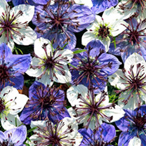 Click to view product details and reviews for Love In A Mist Seeds Ebony Ivory.