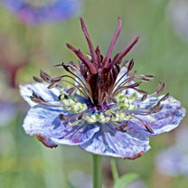 Love-in-a-Mist Seeds - Delft Blue