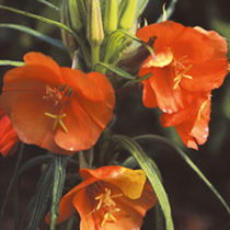 Oenothera Seeds - Sunset Boulevard