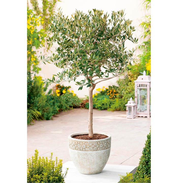 Olive Tree - Extra Large