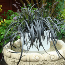Ophiopogon Plant - Black Beard