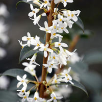 Osmanthus Plant - Burkwoodii