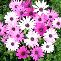 Click to view product details and reviews for African Daisy Seeds Ecklonis Mix.