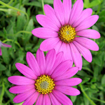 Osteospermum Plant - Tresco Purple