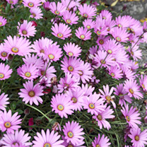 Osteospermum Hardy Plant - jucundum compactum