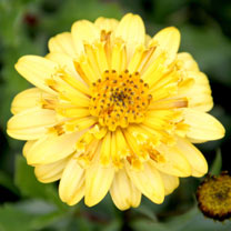 Osteospermum Plant - Erato Double Yellow
