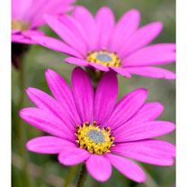Osteospermum Hardy Plants - In The Pink