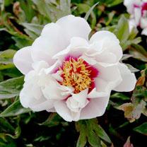 Paeonia Plant - ITOH Cora Louise