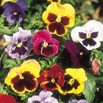 Click to view product details and reviews for Pansy Seeds Giant Fancy Mix.