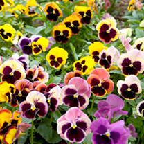 A Swiss Giant pansy, which is a strong-growing strain with enormous flowers of brillant colours all with blotches at petal bases. Height 15-23cm (6-9)