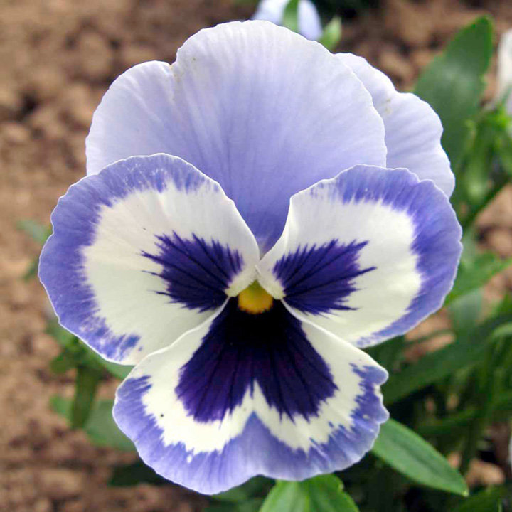 Pansy Seeds - Adonis