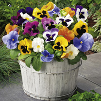 Pansy Plants - F1 Select Mix