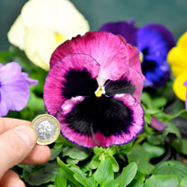 Pansy Plants - Select Mix