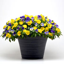 Pansy Plants - Sunny Skies