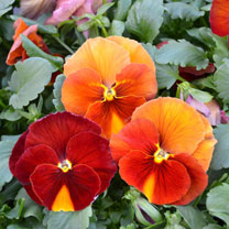 Pansy Beacon Caramel
