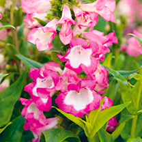 Penstemon Plants - PepTalk Pink