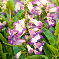 Penstemon Plant - Peptalk Purple