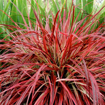 This Fountain Grass is refreshingly different for summer patio displays and borders. The grassy foliage is full of colours from red and cream to purpl