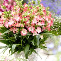 Penstemon Plant - Pentastic Pink