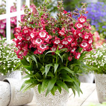 Penstemon Plant - Pentastic Red
