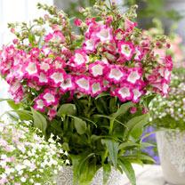 Penstemon Plant - Pentastic Rose
