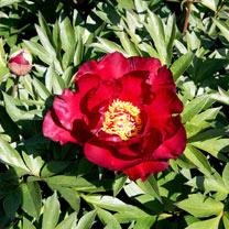 Paeonia Plant - ITOH Scarlet Heaven