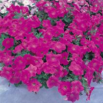 Petunia Plants - Classic Pink