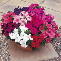Click to view product details and reviews for Petunia Seeds F1 Super Hybrid Mix Grandiflora.
