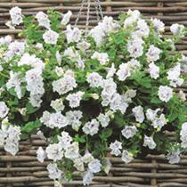 Petunia Plants - Tumbelina Margarita