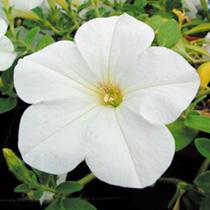 Petunia Plants - Surfinia Vanilla