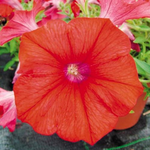 Petunia Plants - Surfinia Red