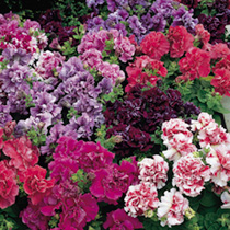 Click to view product details and reviews for Petunia Seeds F1 Duo Double Mix.