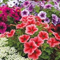 Click to view product details and reviews for Petunia Seeds F1 Reflections Mix.