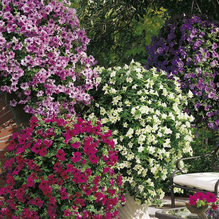 Petunia Plants - Surfinia Large Flowered Mix