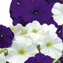 Click to view product details and reviews for Petunia Seeds Skyline Mix.