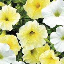 Petunia Seeds - F1 Spring Mix