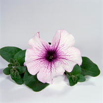 Surfinia Petunia Plants - Purple Vein