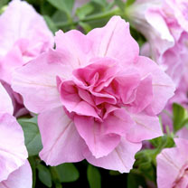Petunia Plants - Tumbelina Victoria
