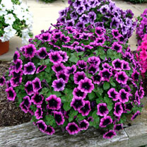 Petunia Plants - Ovation Dark Heart