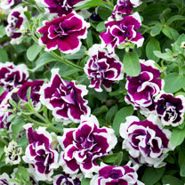 Petunia Plant - Tumbelina Bella