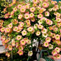 Petunia Plants - Happy Magic Cremissimo