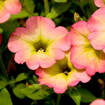 Petunia Plants - Happy Magic Cremissimo