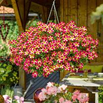 Petunia Plants - Amore Queen of Hearts
