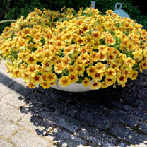 """Super"" Petunia (Beautical) Plants - Caramel Yellow"