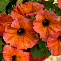 """Super"" Petunia (Beautical) Plants - Cinnamon"