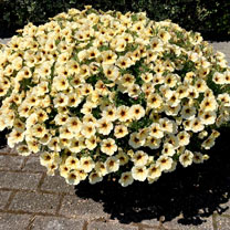 """Super"" Petunia (Beautical) Plants - French Vanilla"