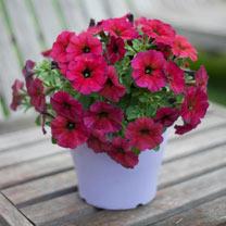 """""""Super"""" Petunia (Beautical) Plants - Bordeaux"""
